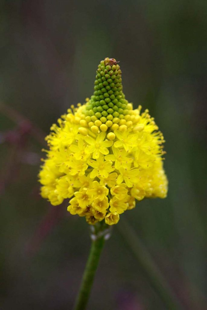 Photo of the golden flower of the bulbinella plant